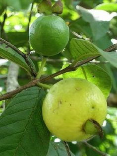 Guava (Psidium angulatum)  Called as Bayabas in the Philippines