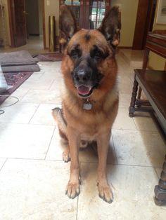 My German Shepherd Player