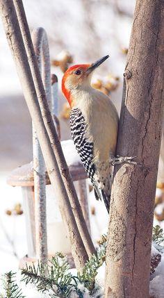 Orange Bellied Woodpecker~cl