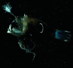 1000 images about deep sea on pinterest deep sea deep for What do angler fish eat