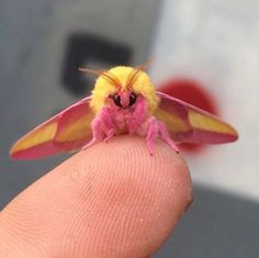 "This should be named ""The Pokemon Moth!"" The Rosy Maple Moth May Be the Cutest Bug Ever All Gods Creatures, Cute Creatures, Beautiful Creatures, Animals Beautiful, Animals And Pets, Baby Animals, Funny Animals, Cute Animals, Beautiful Bugs"