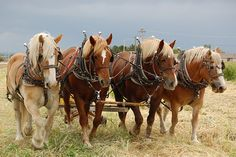 Plow Horses working, via Flickr.