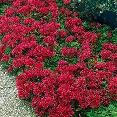 Sedum Summer Glory web site with ground cover seeds