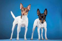 Toy Fox Terrier Origem: U.S.A Grupo: Cães Terrier Altura: 22 a 29cm  Peso: 7 a 8kg  Expectativa de vida: 13 a 14 anos.   vipsites.wix.com/vidavetcare  #ToyFoxTerrier #raçasdecães #guiaderaças #veterinário #cachorro
