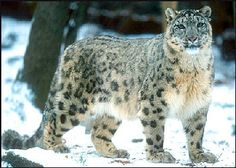 Snow Leopard,..how fun of a day would that be!