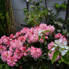 Rododendron  pink
