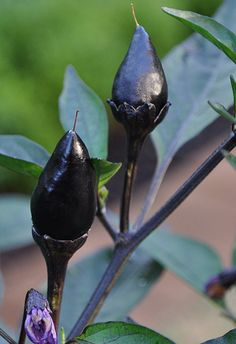 Black Prince #Chilli #Seeds