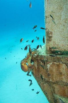 Diving Malta - Octopus climbing !   Never mind the octopus - its the giant squid in Malta that petrified me !