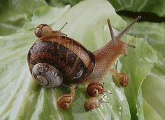 PetsLady's Pick: Totally Cool Snail Family Of The Day ... see more at PetsLady.com ... The FUN site for Animal Lovers
