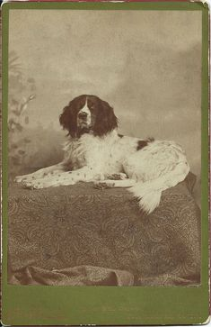 "1885 cabinet card of ""Toney"" the spaniel. Photo by Chas F Turner, 506 6th Street, Racine, Wis. Dog's name written on verso. From bendale collection"