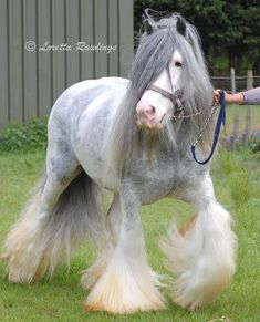 Gypsy cob, love the feathers,and her coat is beautiful. It reminds me of misty…