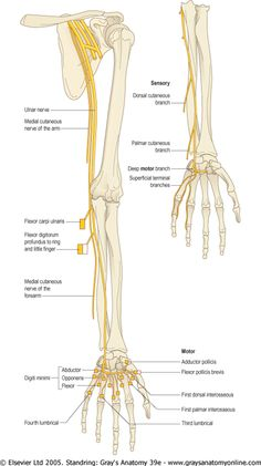 median nerve in the forearm, distal to the elbow joint, branches to ...