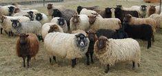 Shetland Sheep Breed