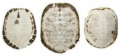 Sun-Bleached Turtle Shells eclectic accessories and decor