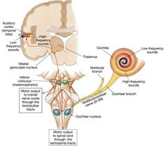 medial geniculate nucleus - Google Search