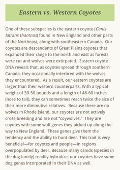 Coyote Facts, Coyote S, Great Plains, Large Animals, Westerns, How To Plan