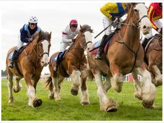 UK Clydesdale racing • http://www.horseandhound.co.uk/news/clydesdales-show-speed-exeter-race/