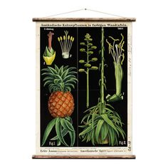 This reproduction is from the original educational botanical wall chart from ca. 1899, by German duo Zippel and Bollmann. This is part of their series called