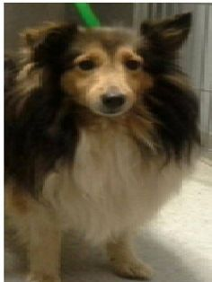 Location Columbus, OH Rescue ID Ellie Organization Contact CENTRAL OHIO SHELTIE RESCUE, INC. centralohiosheltierescue.org P.O. Box 13072 COLUMBUS, OH 43213 Send Question Ellie's Description  Help Me Get Adopted Elllie is four years old. She is a Mahogany Sable. Must have a fenced yard. No young children This profile is powered by  Shetland Sheepdog Sheltie Location:	Columbus, OH Gender:	Female Age range:	Adult Breed type:	Purebred Size type:	Medium Neutered:	No Vaccinated:	No