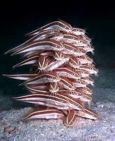 "2011 Ocean Art Photo Competition Winner Adrian Kaye in Marine Life Behavior category - ""Jengafish."""