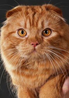 scottishfoldportrait.jpg - #catbreeds - See More Tops Scottish Fold Cat Breeds at Catsincare.com!