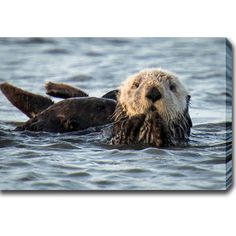 This gorgeous gallery-wrapped photography canvas art of 'California Sea Otter: Monterey Bay' is ready to hang. Showcase the beauty of nature and the world in your home or office. Artist: Unknown Title
