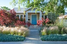 grassless landscaping | Blue succulents contrast with kangaroo paws, red maples.