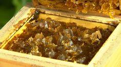 Nosso Campo mostra a criação desse tipo de abelha e a produção de mel. A criação de abelhas sem ferrão vem ganhando espaço em Sorocaba. As Melíponas, popularmente chamadas de abelhas sem ferrão, são de uma espécie inofensiva e sem mecanismos de ataques. Sendo assim não oferecendo riscos aos apicultores.