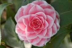 Camellia japonica 'Tom Pouce' (France, 1847)                                                                                                                                                                                 Plus
