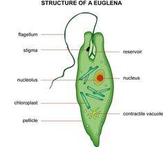 Nas espécies de vida livre há formação de vacúolos digestivos. As partículas alimentares são englobadas por pseudópodos ou penetram por uma abertura pré-existente na membrana, o citóstoma.        Já no interior da célula ocorre digestão, e os resíduos sólidos não digeridos são expelidos em qualquer ponto da periferia, por extrusão do vacúolo, ou num ponto determinado da membrana, o citopígio ou citoprocto.