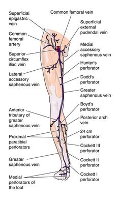 Leg Pain: 10 Home Remedies For Leg Pain That Are Speedy And Effective. Leg Muscles Diagram, Muscle Diagram, Muscle Body, Muscle Pain, Interactive Anatomy, Leg Anatomy, Human Leg, Anatomy Images, Leg Bones