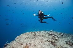 Scuba diver Elyn Stubblefield using a reef hook to watch sharks and other fish in the strong currents of the world famous Blue Corner dive site off the islands of Palau in Micronesia.