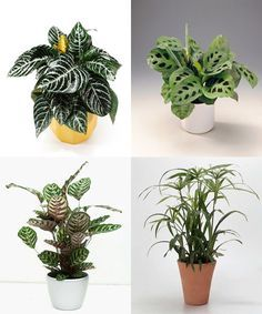 Afelandra, Caladio, Calatea y Paraguas -> Plantas de interior que necesitan poca luz