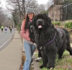 Newfoundland Dog Info and Pictures - Neufundländer - Animals Pictures Huge Dogs, I Love Dogs, Massive Dogs, Le Plus Grand Chien, Big Dog Breeds, Biggest Dog Breeds, Funny Animals, Cute Animals, Therapy Dogs