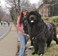 Giant Newfoundland Dog - Bing images