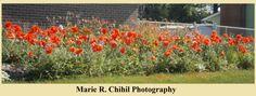 Poppies,, Tipp city Ohio, Miss Bonnies Garden