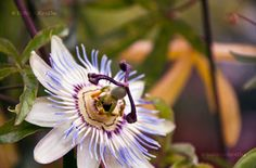 Golgotavirág (Passiflora)