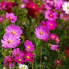 Growing cosmos from seed