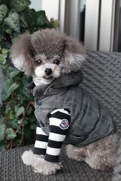 """See our website for even more details on """"poodle pups"""". It is an outstanding area to get more information. Animals And Pets, Cute Animals, Small Poodle, Tea Cup Poodle, Purebred Dogs, Dog Pictures, Best Dogs, Dog Breeds, Cute Dogs"""