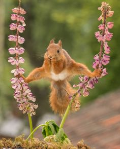 This courageous creature refused to get off the flowers to satisfy its appetite - and was instead captured breaking into the splits as it reached out for food