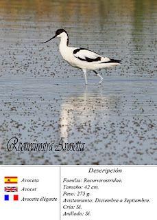 Avoceta en las Lagunas de Lantejuela, Sevilla, Spain