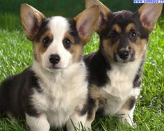"""Baby corgy Sono i cani preferiti dalla regina o chiamati """"cani reali """""""