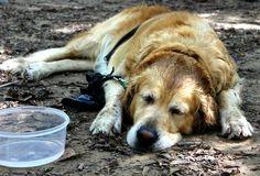 Ňuf Labrador Retriever, Animals, Pictures, Labrador Retrievers, Animales, Animaux, Labrador, Animal, Animais
