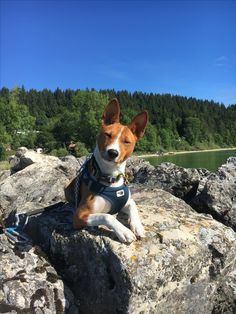 Basenji Puppy, Purebred Dogs, Beagle Puppy, Best Dog Breeds, Best Dogs, Yorkshire Terrier Puppies, Aggressive Dog, Wild Dogs, Dogs Of The World