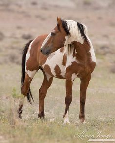 Picasso Turns  Fine Art Wild Horse Photograph door WildHoofbeats, $35.00
