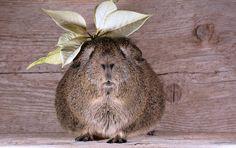 モルモット, 滑らかな髪, Lemonagouti, ペット, 花 - Pixabayの無料画像