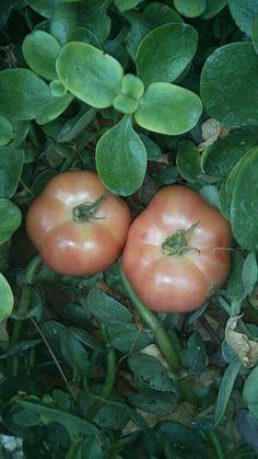 Tomatigues de Ramallet Mallorquines