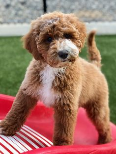 Red and white Australian Labradoodle puppy New Puppy, Puppy Love, Miniature Australian Labradoodle, White Labradoodle, Labradoodles, Having A Bad Day, Cute Puppies, Doggies, Montana