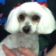 Pretty Bella is ready for the holidays! #CutePup #DogGrooming #DogSpa #FreshAndClean