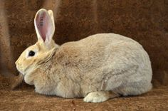 The Crème d'Argent is creamy-white in color with an orange cast carried throughout the fur of the body. The undercoat is bright orange and this color carries to the skin. The entire coat is interspersed with orange guard hairs. These rabbits are considered a large breed with the bucks weighing 8-10 1/2 lbs and does weighing 8 1/2 to 11 lbs.